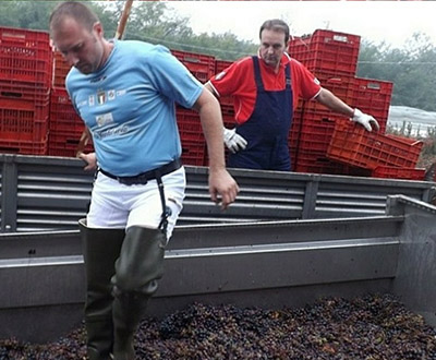 Most grapes crushed with feet in an hour
