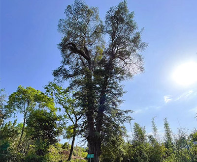 Tallest Buddhist pine tree